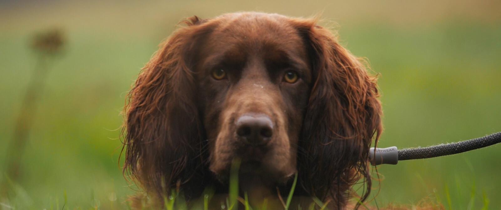 Medžioklinių šunų bandymai