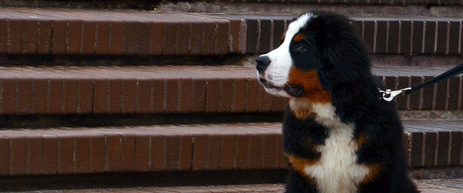 Zenenhundų veislės šuniukas