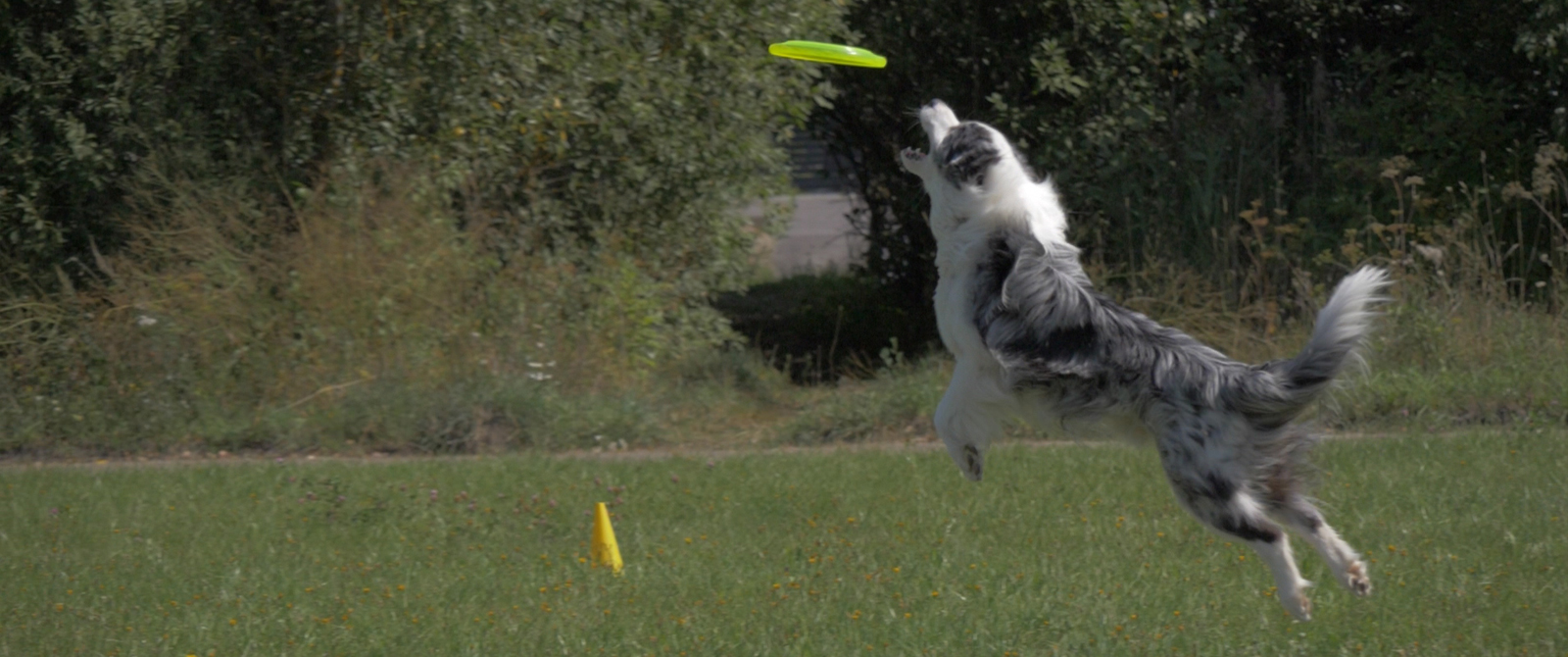 Pagerintas šunų lėkščiasvydžio rekordas