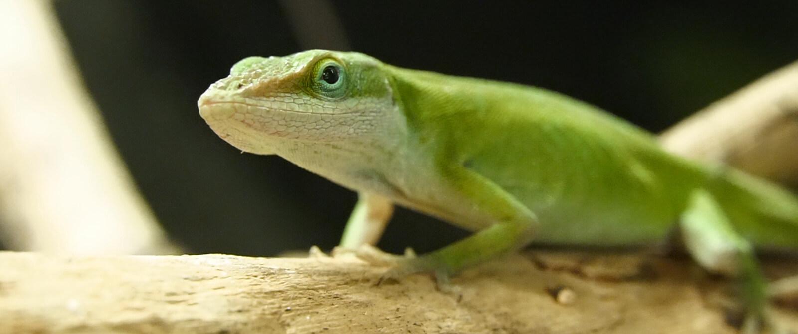 Žaliasis anolis