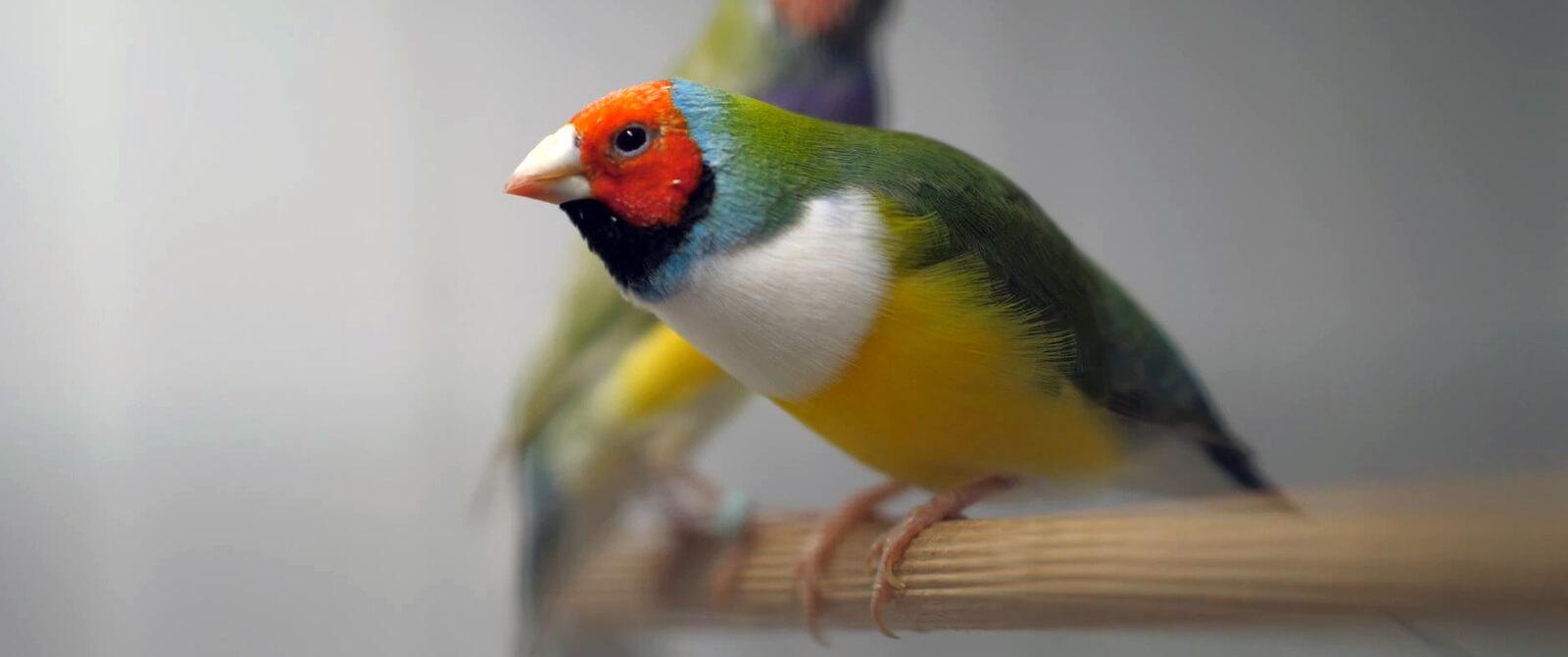 Guldo amadinos – populiarios dėl spalvų
