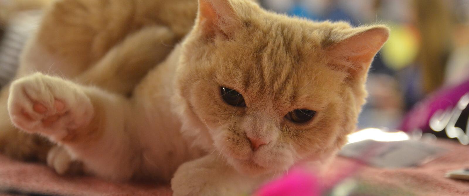 Retos katės – įprastos parodų dalyvės