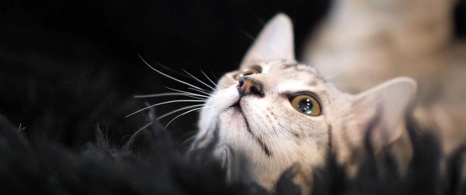 """""""BUBASTĖS"""" parodoje – retų kačių vada"""