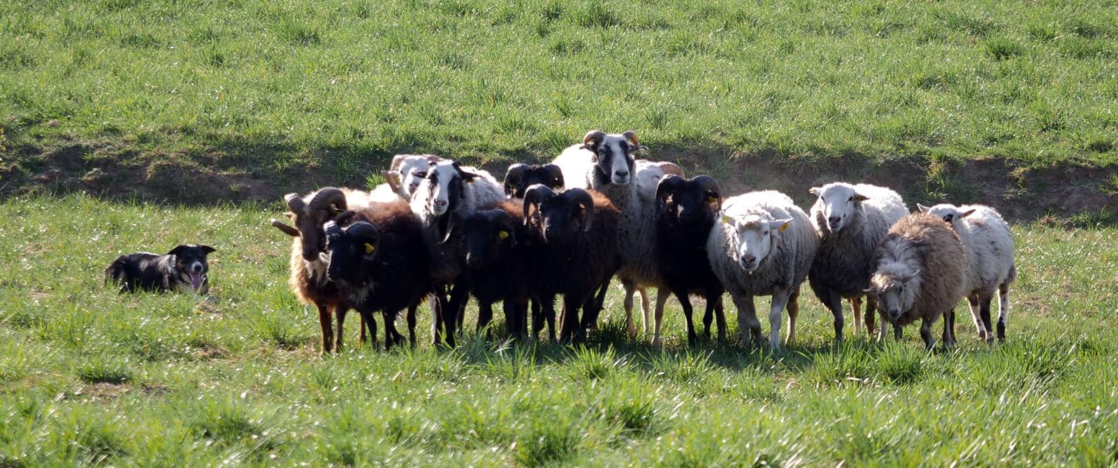 Aviganiai šunys išbandė instinktus su tikromis avimis