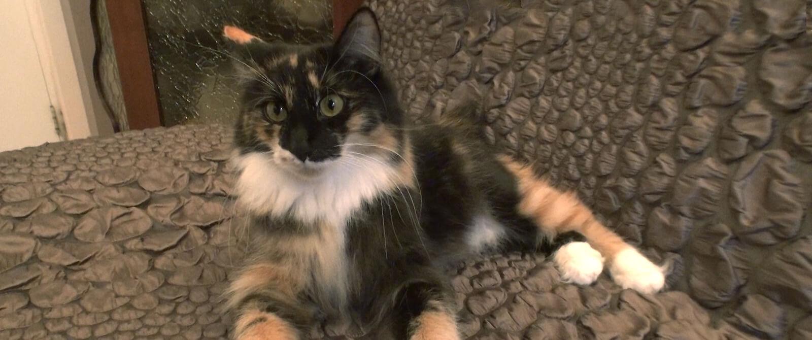 Kurilų bobteilų veislės katė