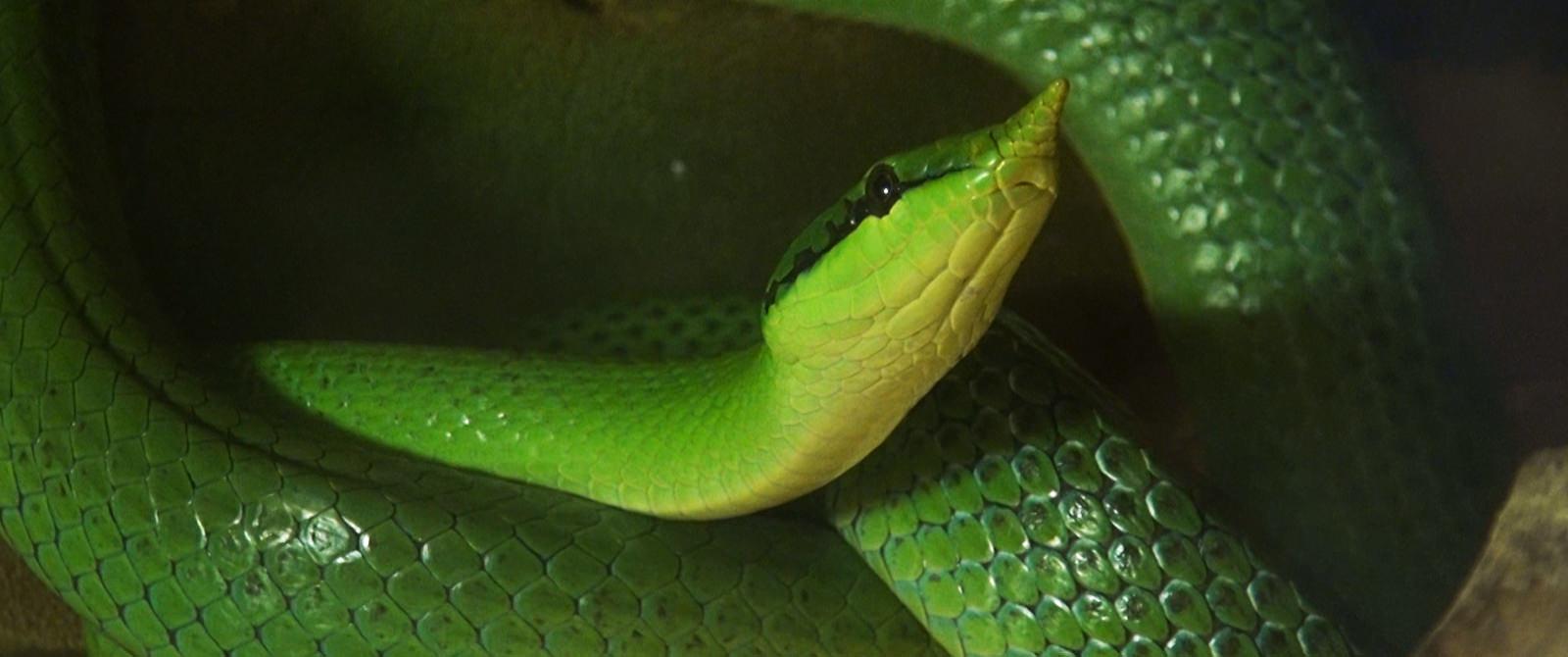 Vietnamo vienaragė gyvatė