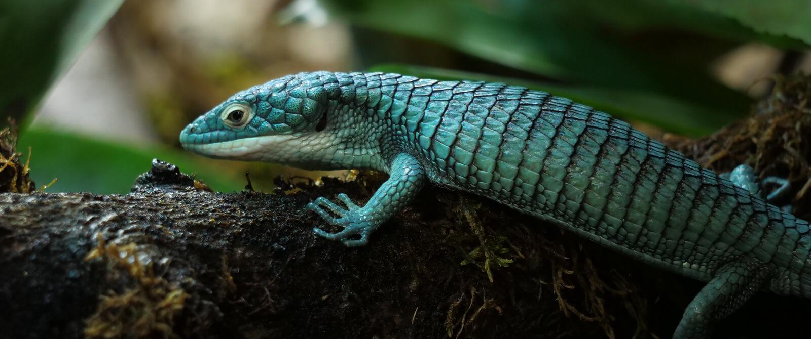 Meksikiniai krokodiliniai driežai