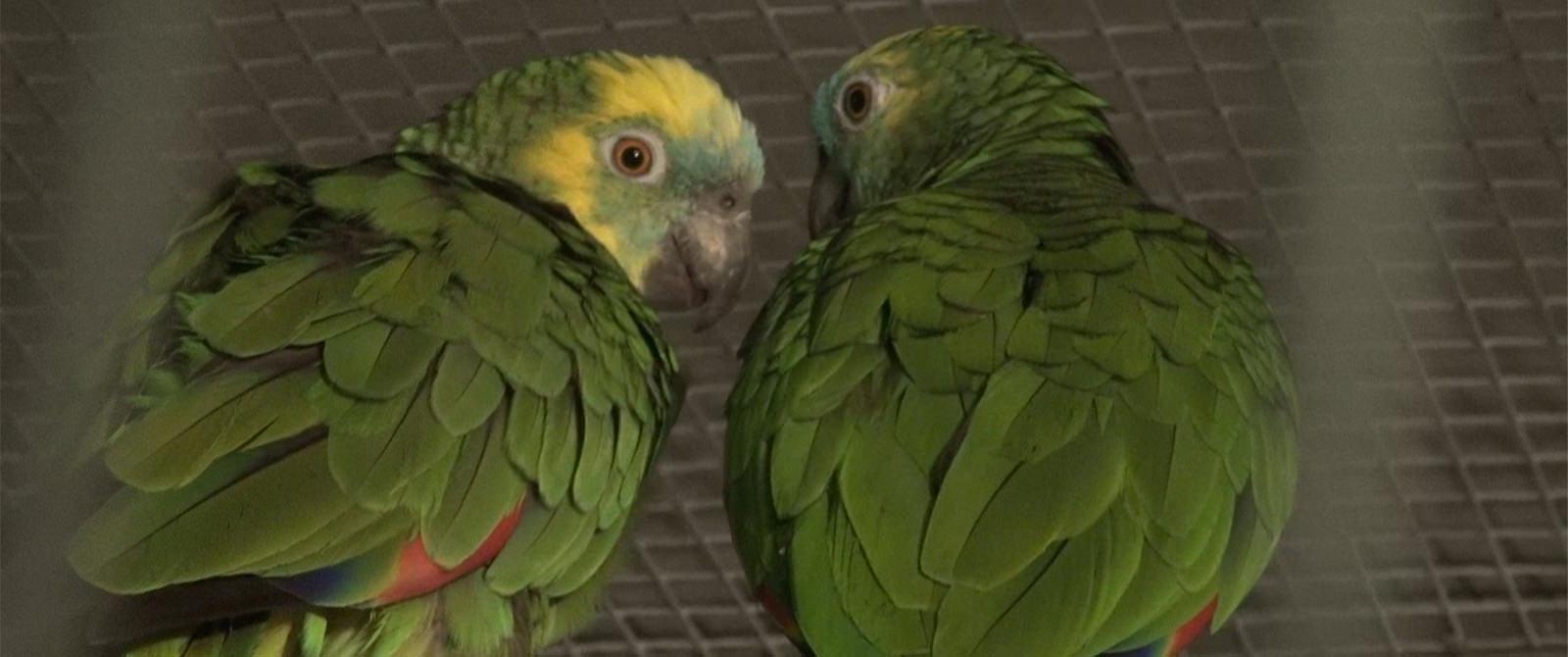 Papūgos - mėlynkaktės amazonės