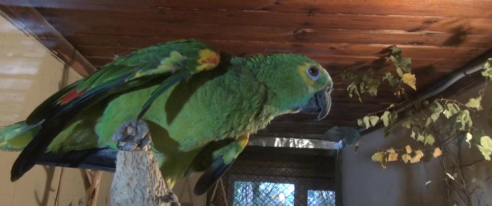 Papūga - mėlynkaktė amazonė
