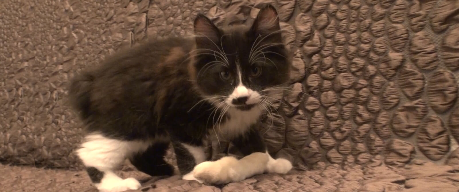 Kurilų veislės kačiukas