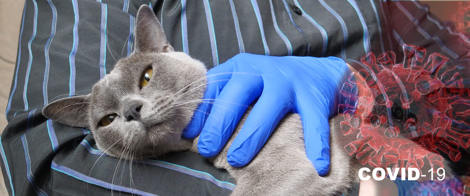 Šeškai ir katės yra jautrūs COVID-19