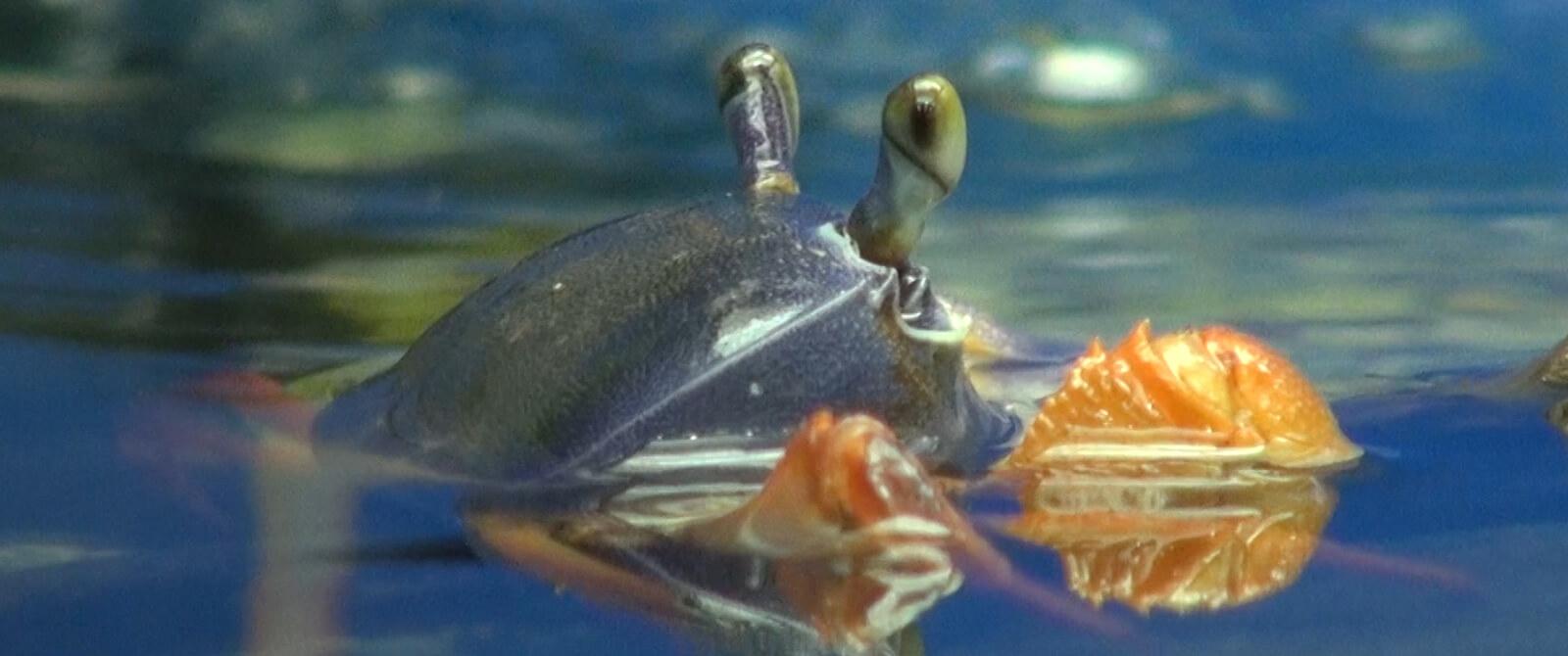 Vaivorykštinis krabas