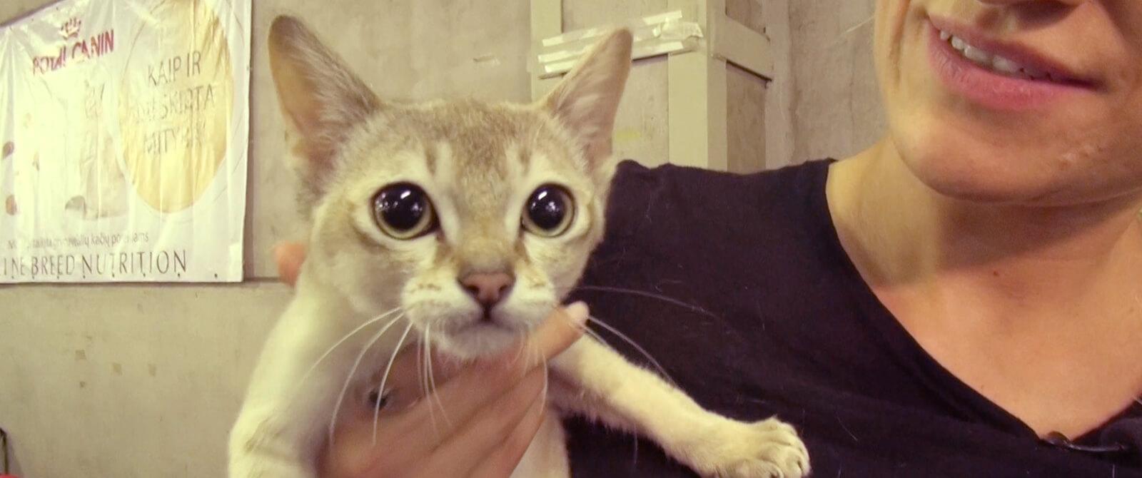 Singapūro veislės katė