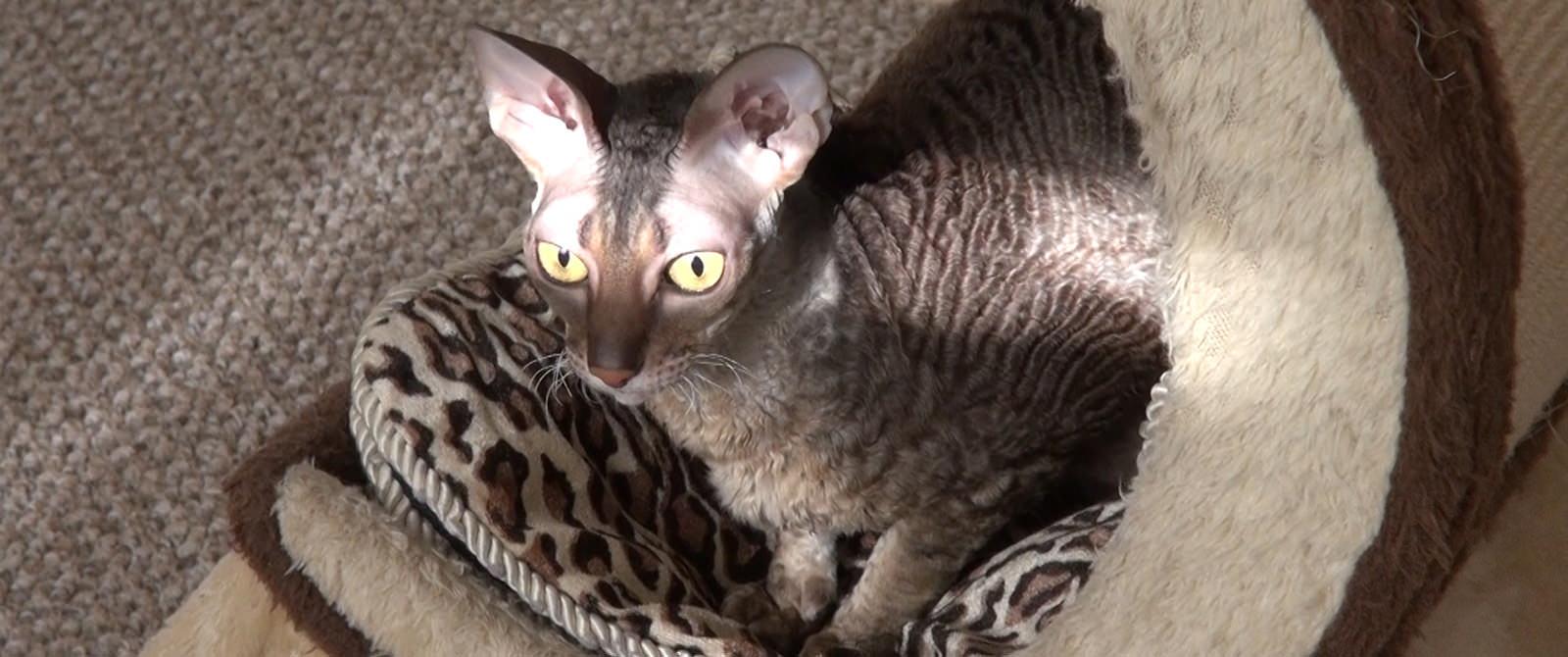 Kornvalio reksų veislės katė