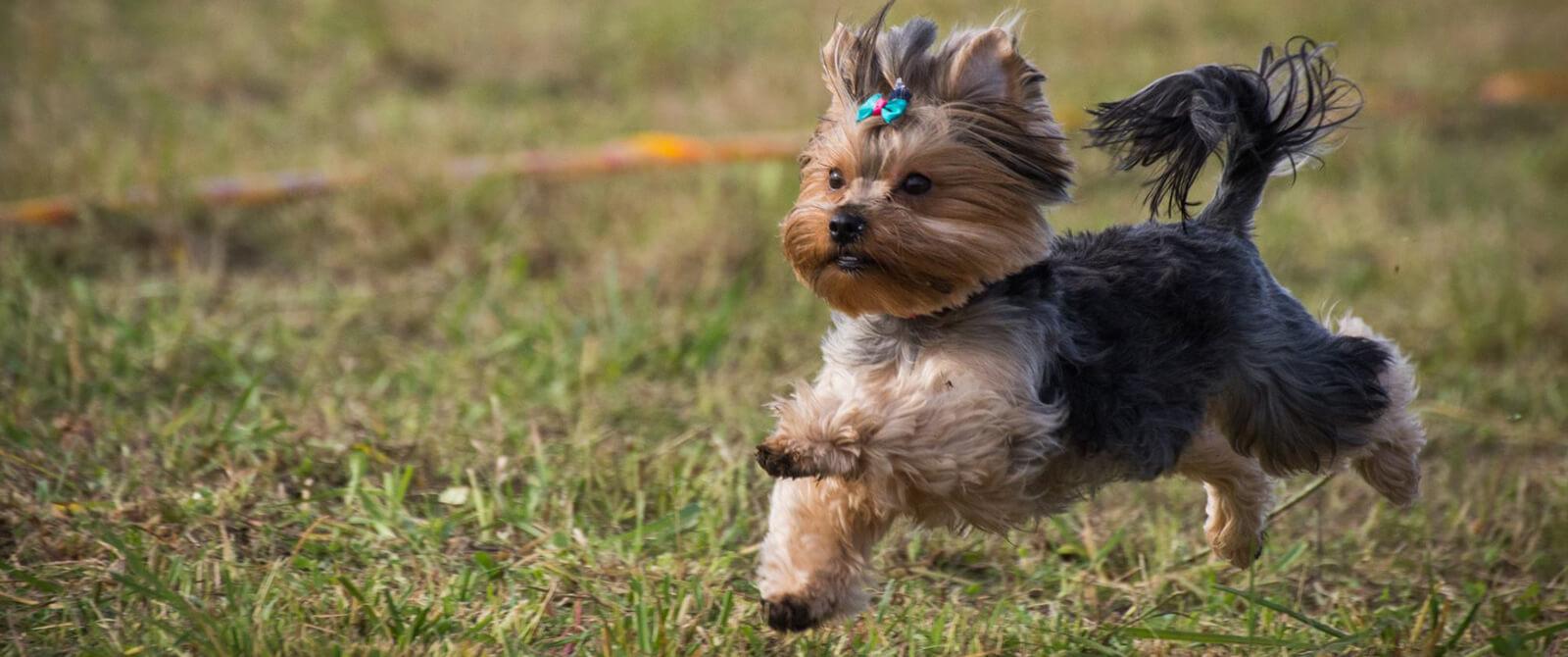 100 m šunų bėgimo varžybos