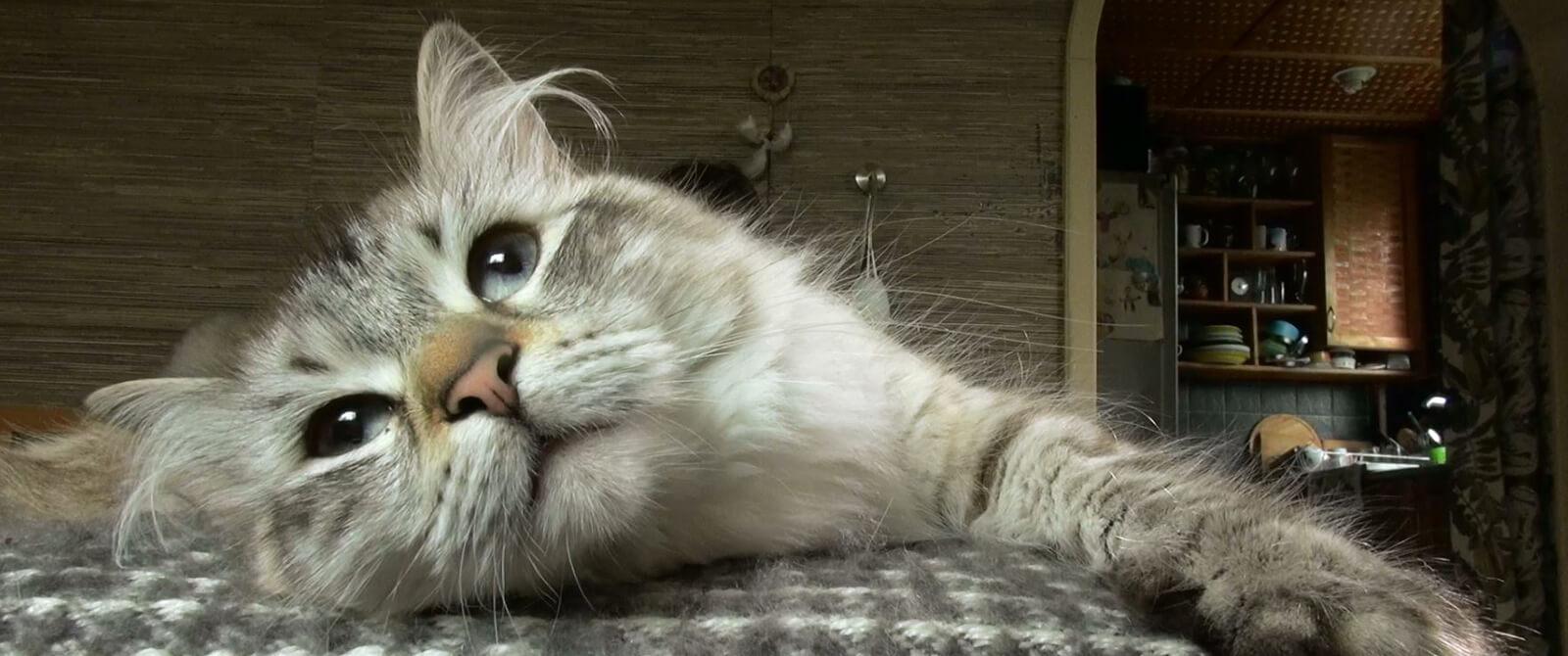 Sibiro veislės katė