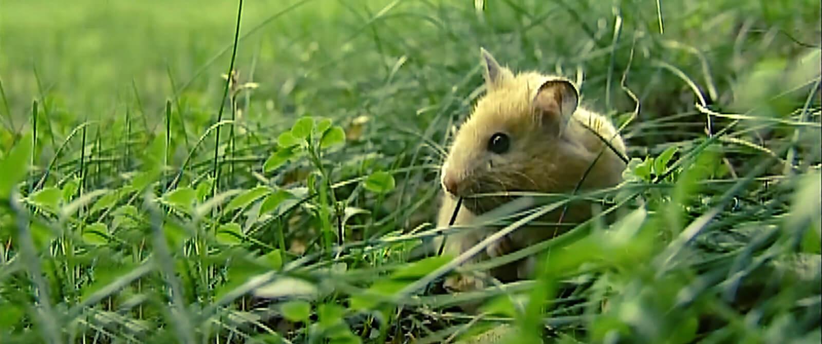 Sirijos žiurkėnai populiarūs visame pasaulyje