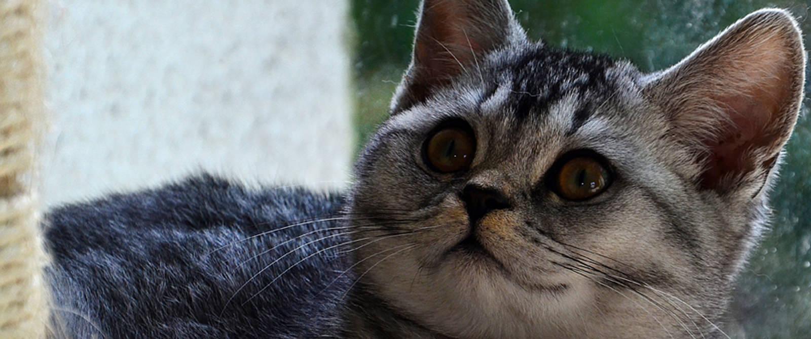 Britų trumpaplaukis kačiukas