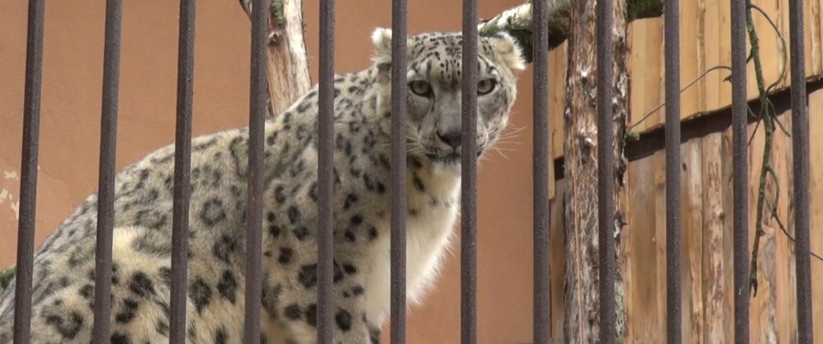 Snieginis leopardas